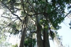 Ceiba and Figue-tree