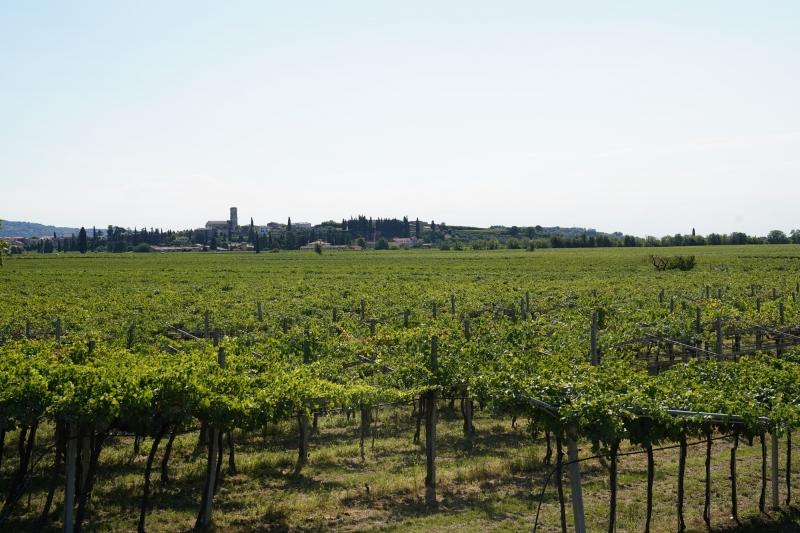 Vinyard  near Villa Giona